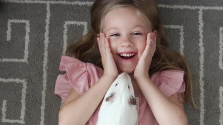 świnka morska : Top View little girl carefully holds big hairy guinea pig in hands