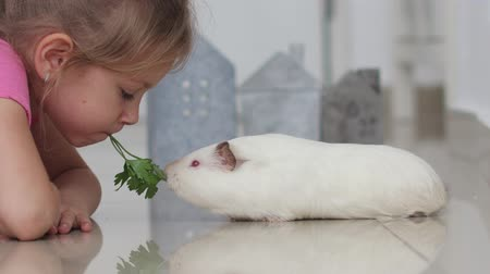 świnka morska : Funny Child Girl With Guinea Pig Pet Lie Eat One Sprig Of Parsley Together