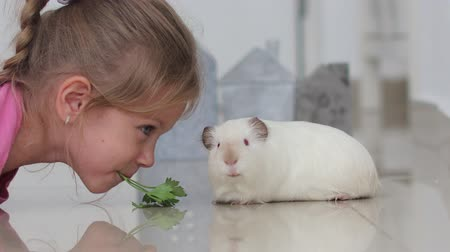 świnka morska : little girl gently feed a white guinea pig with green leaves of parsley