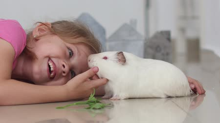 świnka morska : little girl is playing with her pet cavy