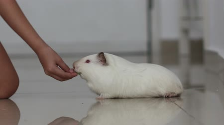 楽しんで : girl feeds a guinea pig, pet lies and eats one sprig of parsley 4k