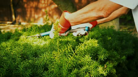 bahçıvan : Using manual scissor clippers to trim hedges Stok Video