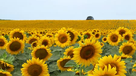 girassóis : Sunflower field