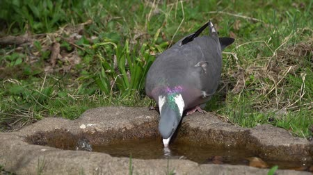 fly away : Wood pigeon drinking water from a bird bath and standing for a while before it takes off
