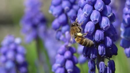 jacinto : Slow motion video of a honey bee sucking tectar fra a muscari or grape hyacinth flower