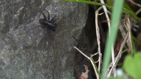 çiftleşme : Macro video of small wolf spider trying to impress the female with courtship dance when the female attacks Stok Video