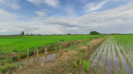 kiełki : View of Young rice sprout ready to growing in the rice field Wideo