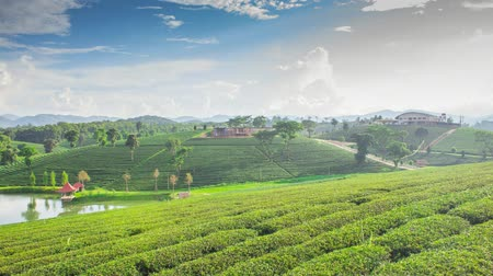 plantio : Tea plantation in Thailand
