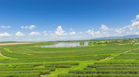 plantio : Tea plantation in Thailand.