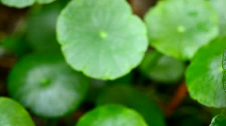 étel : Pennywort Centella in wet season with swinning in the wind