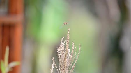 libélula : Movement of a red dragon fly