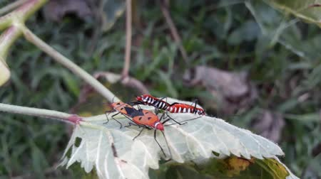 katoenplant : Red Bug, Pyrrhocoridae, Hemiptera, Animalia Stockvideo