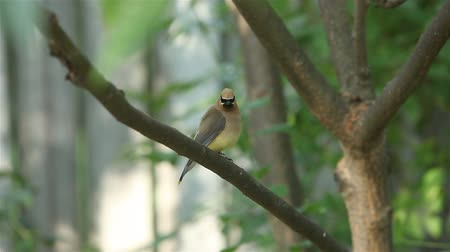 кедр : Waxwing bird is going fluffy on branch of tree above brook. Стоковые видеозаписи