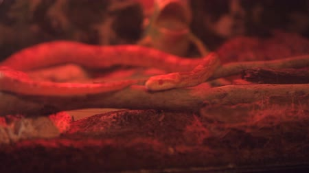vivarium : corn snake crawls in the cage with infrared light