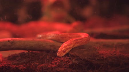 pullu : corn snake crawls in the cage with infrared light