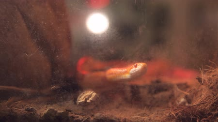 cobra : corn snake crawls in the cage with infrared light