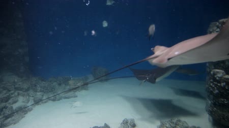 muszla : Stingray, fish in an aquarium, marine life, blue water Wideo