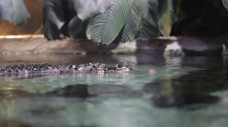 yanaklar : Close-up shot of a crocodile on the camera on the water Stok Video