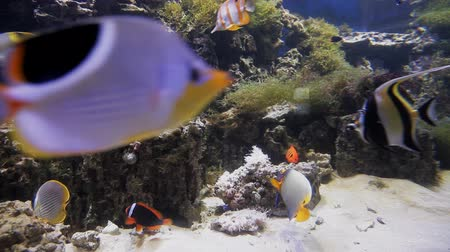 scuba diving : Beautiful fish in clear aquarium water. A colorful aquarium filled with stones, branches, algae and an air pump that provides fish with oxygen bubbles