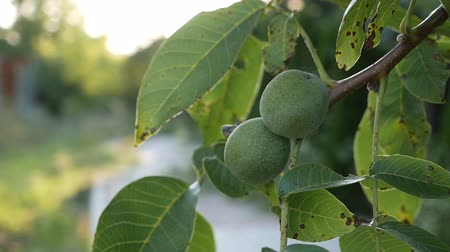 ореховая скорлупа : Green european ripe walnuts growing on the tree among leaves, in the light of the sun. walnut trees with ripening walnuts on a large rural plantation