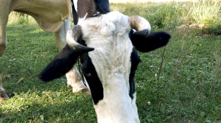 vemeno : White young calf tied to a chain on a green lawn chewing grass. Grazing, Cows, Cattle, Farm Animals