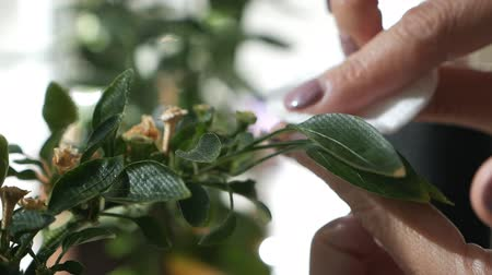 houseplant : Woman cleaning green plants. Woman cares for domestic plants, wipes the petals