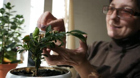 chusteczki : Woman cleaning green plants. Woman cares for domestic plants, wipes the petals