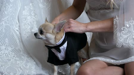 smokin : Woman puts a tuxedo on a dog. The bride dresses a dog in a classic costume Stok Video