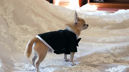 smokin : A dwarf dog stands on a wedding dress, dressed in a tuxedo, turning around. Wedding, dog, tuxedo Stok Video