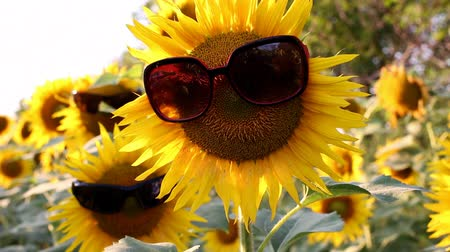 organic : Sunflowers with glasses in a funny scene Stock Footage