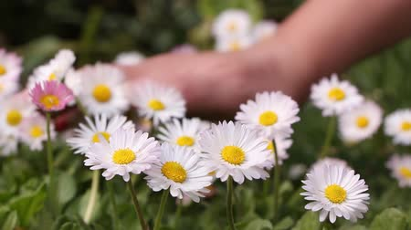 stokrotki : Woman petting daisies, closeup