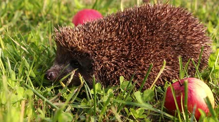 еж : Hedgehog is walking and sniffing in the grass at summer, red apples around
