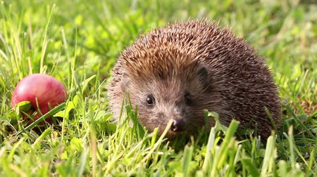 ogród : Hedgehog is walking and sniffing in the grass at summer, red apples around