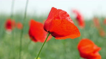 haşhaş : Red poppies on the field swaying in the wind Stok Video