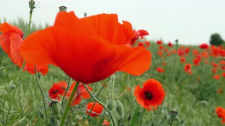 escarlate : Red poppies on the field swaying in the wind Stock Footage