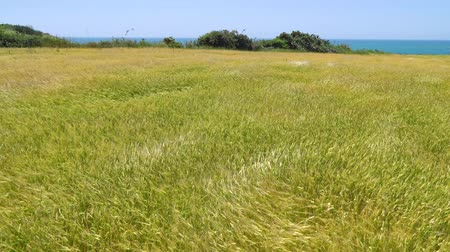 shaking wind : yellow barley field with ripe barley rippling in the wind in Jeju island, Korea.