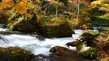 faia : Water stream with nature sounds flowing through the beautiful autumn forest on Oirase walking trail in Towada Hachimantai National Park,  Aomori, Japan