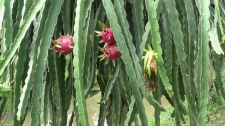 Dragon Fruit Pitaya plant in a tropical garden