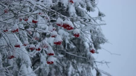 üvez ağacı : Snowy red ashberry Stok Video