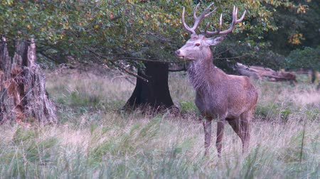 memeli : red deer Stok Video