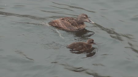 duck : eider ducks