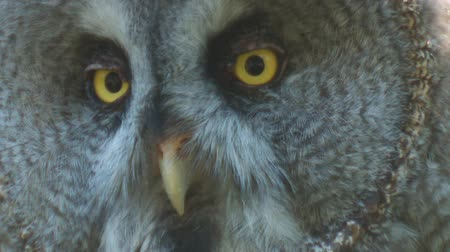 bird eye : great grey owl