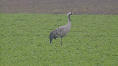 bird's eye view : common crane Stock Footage