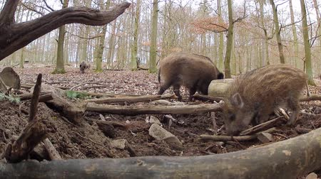 animal protection : wild boar