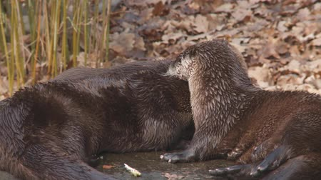 wildtiere : Flussotter Videos