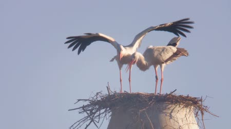 bird family : stork Stock Footage