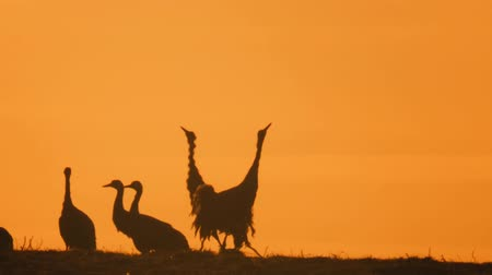 natural world : common crane Stock Footage