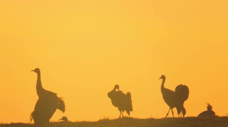 in : common crane Stock Footage