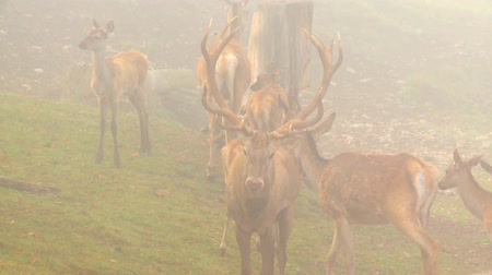 cervus elaphus : red deer rutting season