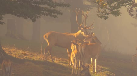 av : red deer Stok Video